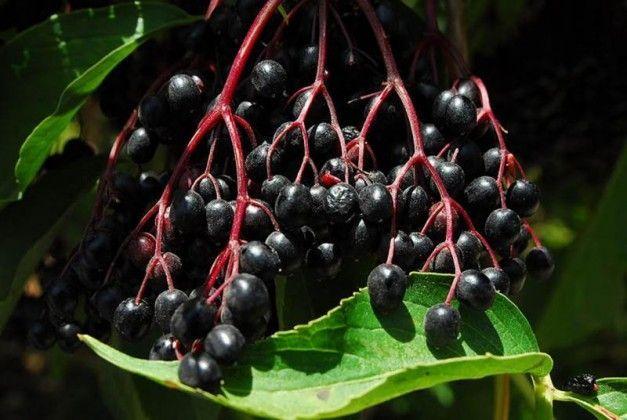 הסמבוק השחור רעיל למאכל – אך יעיל לשפעת!