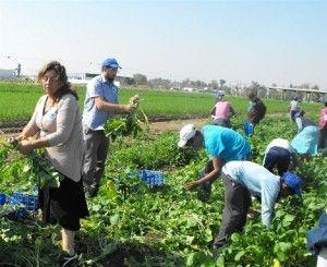 חקלאות: קטיף לפת בעזרת תלמידים