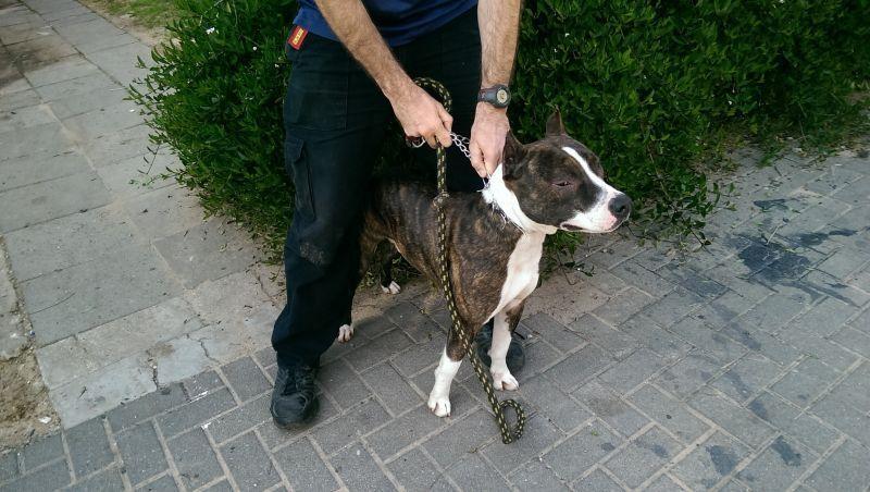 נחשף נסיון הכברת כלבת אמסטף וגוריה לקלקיליה