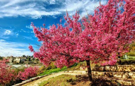 פריחת עץ הדובדבן  בגן הבוטני גבעת רם ירושלים