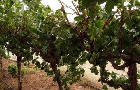 טרור לאומני  – כ 150 עצים נכרתו מכרם של תושב תומר בבקעת הירדן