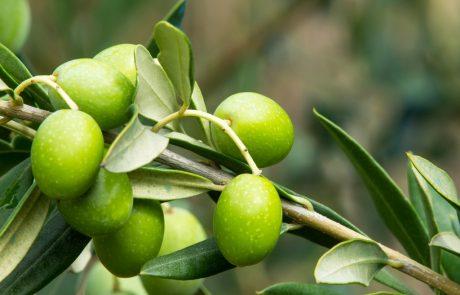 עונת המסיק החלה – חקלאים בענף הזית מביעים חשש כבד לעתיד הענף