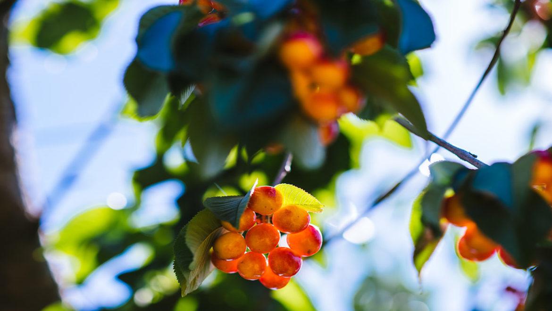 פותחים את עונת קטיף הדובדבנים בבוסתן בראשית בגולן