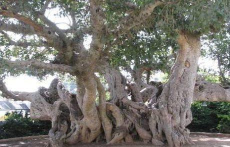 """ט""""ו בשבט בסימן מסע בעקבות העצים"""