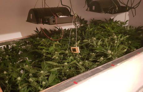 נתפסו 34 עציצי מריחואנה בפשיטה על בית בשומרון