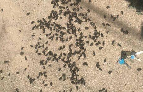 המשרד להגנת הסביבה מדווח על התפרצות חיפושיות שחורות וגדולות ברחבי הארץ