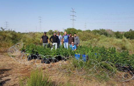 שדה ירוק של מאות שתילי מריחואנה אותר סמוך לאשדוד