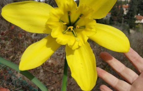 פריחה נדירה  – לראשונה בארץ פרח צמח הפרמונגאיה