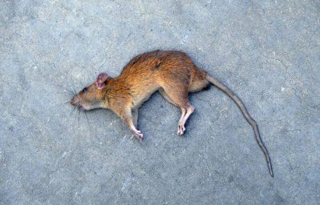 האם רעל לעכברים מסוכן לבני אדם?