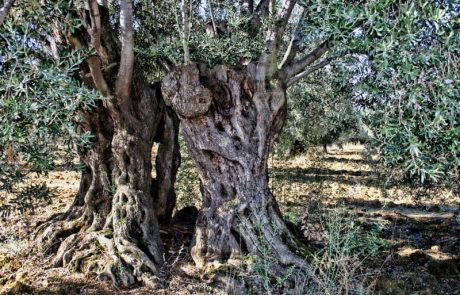 """עץ הזית הוא הזוכה בתחרות העץ הלאומי של קק""""ל"""