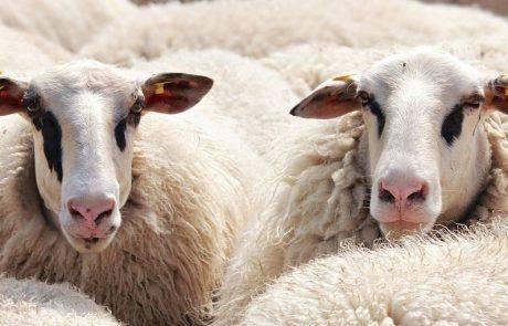 הפשיעה החקלאית  -העדר נגנב המשטרה סגרה התיק תוך שבועיי