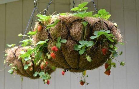 עיצוב בסלסלות תותים
