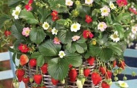 מתכון לריבת תותים ביתיים של משתלת הסוכה בית ירוק