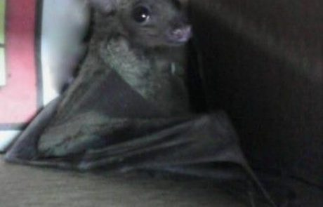"""פאראמדיק מד""""א הציל חיים של גורת עטלף פירות"""