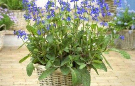 צמח נוי חדש  מרווה כחולת גלים